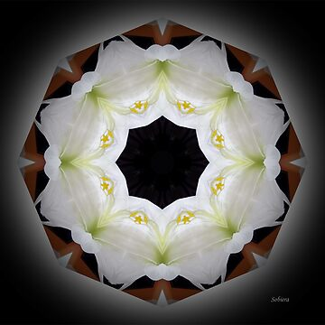 Classic Lily Scallop by rsobiera