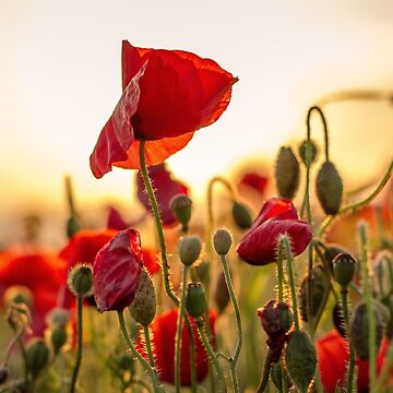 Evening Sun Poppies by lucylucy