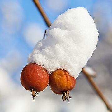 Two winter berries covered with snow on a tree by LukeSzczepanski
