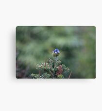 Perched on a pine tree Canvas Print