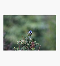 Perched on a pine tree Photographic Print