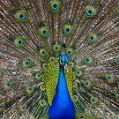 Peacock 2 by groophics