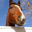 Thoroughbred Horse Peeking Out over the Fence by caqphotography