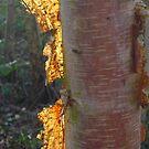 Wild Birch Light. by Mitchell  McLean