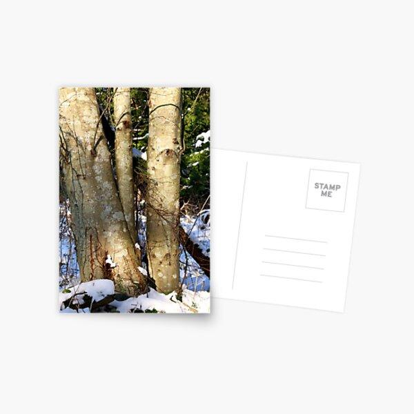 Alder in winter  Postcard