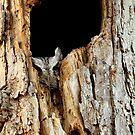 Little screech owl eyes open (latest video of him in description) by Heather King