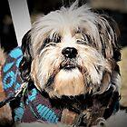 Lucy Tibetan Terrier by Giro Tavitian