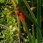Red dragonfly by MChabalaRussell