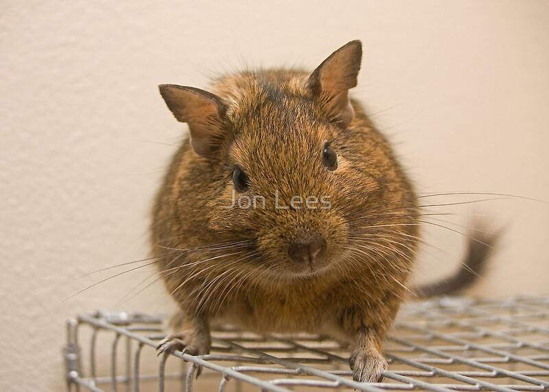 Degus by jon lees redbubble for Home decor newtownards
