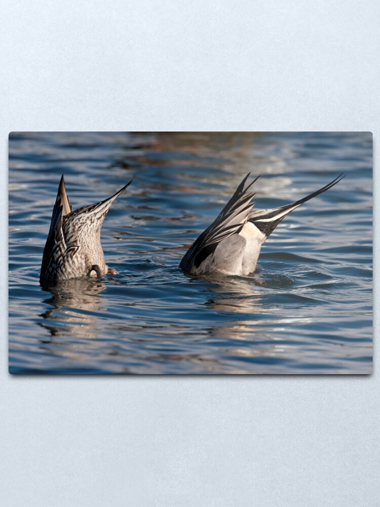Alternate view of Ducks in Sync Metal Print