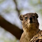 Tree hyrax by Paulo van Breugel