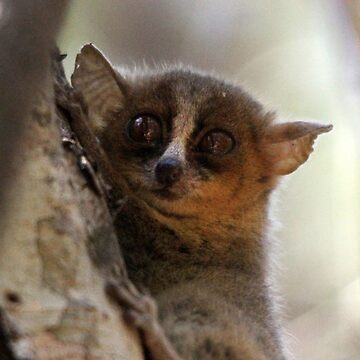golden-brown mouse lemur by gruntpig