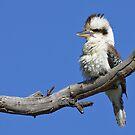 Australian Kookaburra von Jenni Horsnell