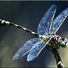 Dragonfly by Kym Howard