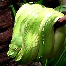 Green Tree Snake 207 views, 7 comments. by dragonsnare