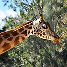 Giraffe, Melbourne Zoo by groophics
