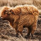 Windswept Coo by Claire Walsh