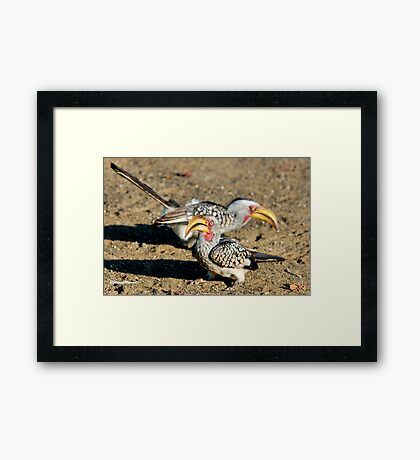 TWO IS COMPANY - Southern Yellow-billed Hornbill - Tockus leucomelos – Geelbekneushoringvoel Framed Print