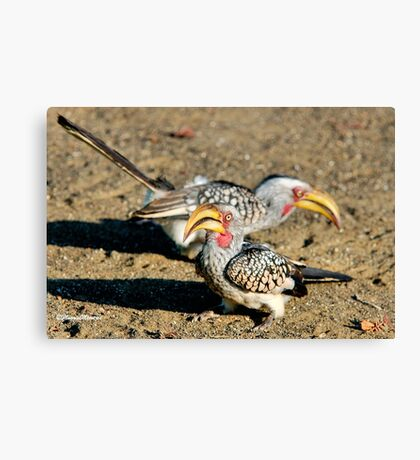 TWO IS COMPANY - Southern Yellow-billed Hornbill - Tockus leucomelos – Geelbekneushoringvoel Canvas Print