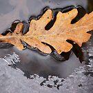 Oak Leaf and Ice by Sofia Solomennikova