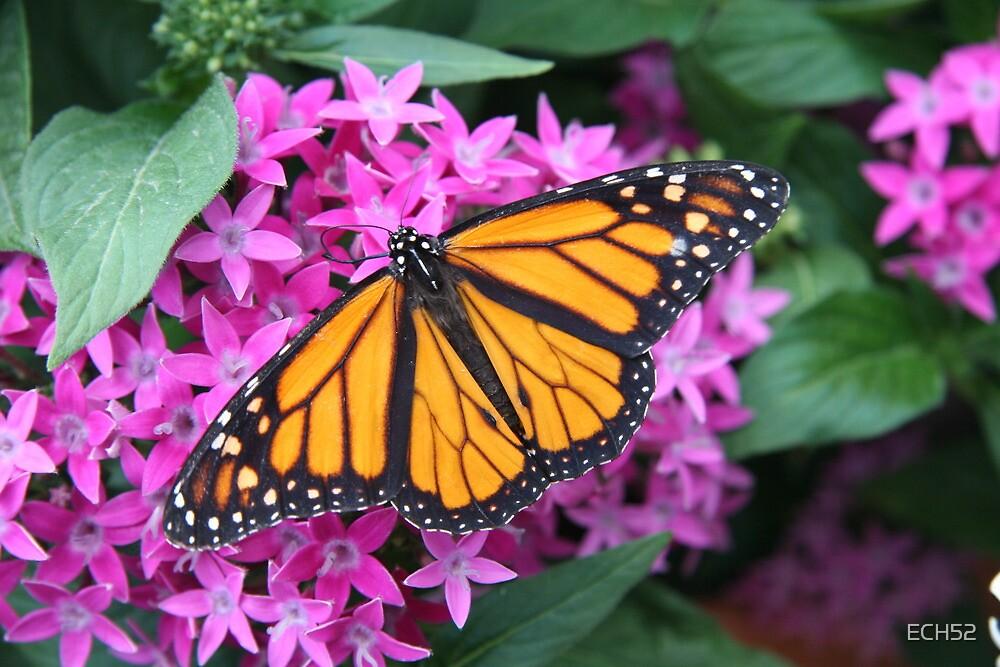 Monarch Butterfly by ECH52