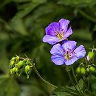 Wild Geranium by Eileen McVey