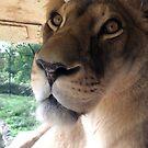 Lioness very closeup by jodi payne