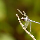 Winged blue dragon by eyes4nature
