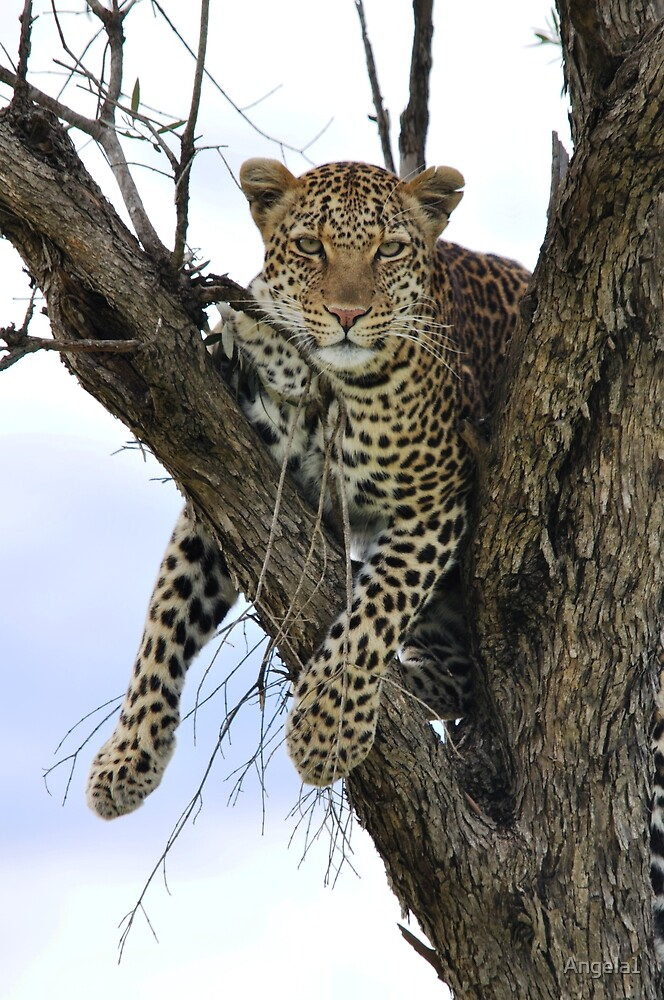 Lazy Leopard by Angela1
