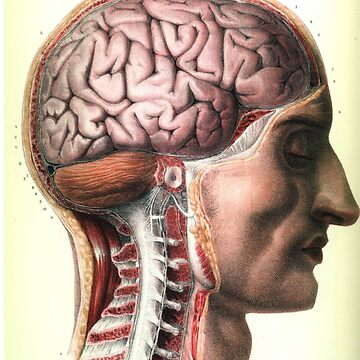 Anatomical Brain And Vertebrae Face Side View by Zehda