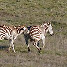 Naughty Zebras by eyes4nature
