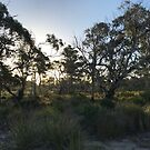 Winter afternoon sun through the eucalypts by Morag Anderson