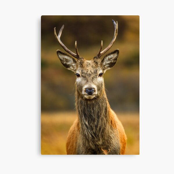 Scottish Highlands Stag Canvas Print
