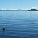 Lone Gull on Lake Taupo by Amy Hale