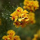 """Egg and Bacon Flower"" (Dillwynia retorta) by Dilshara Hill"