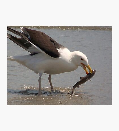 A Great Black-Backed Gull nabbing a baby sand shark. Photographic Print