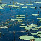 Lily Pads on Fogg Dam, NT by Dilshara Hill