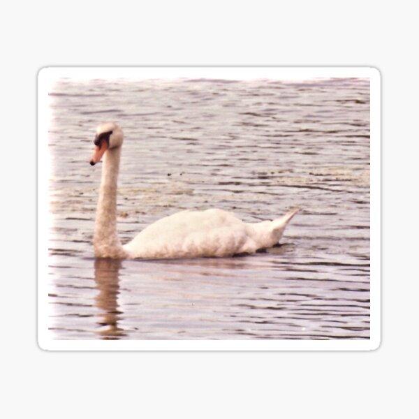 Swan Floats in Pond Sticker
