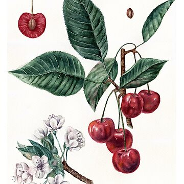 Cherry Botanical Art by AnnaShell