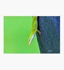 Green Anole ( Anolis carolinensis ) Photographic Print