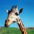 Giraffe HDR by andytechie