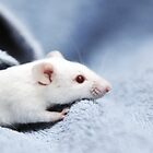 Cute White Mouse by L.D. Franklin