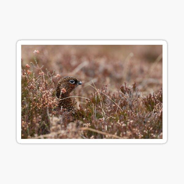 lagopus lagopus  red grouse Sticker