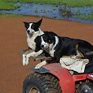 Border Collies off to work by adbetron