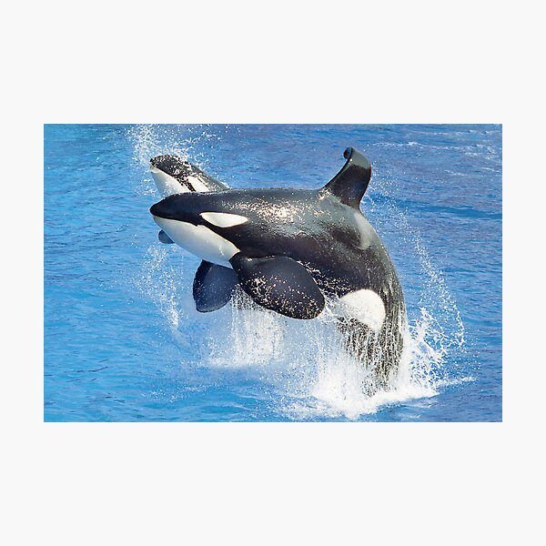 Shamu and Baby Shamu Photographic Print