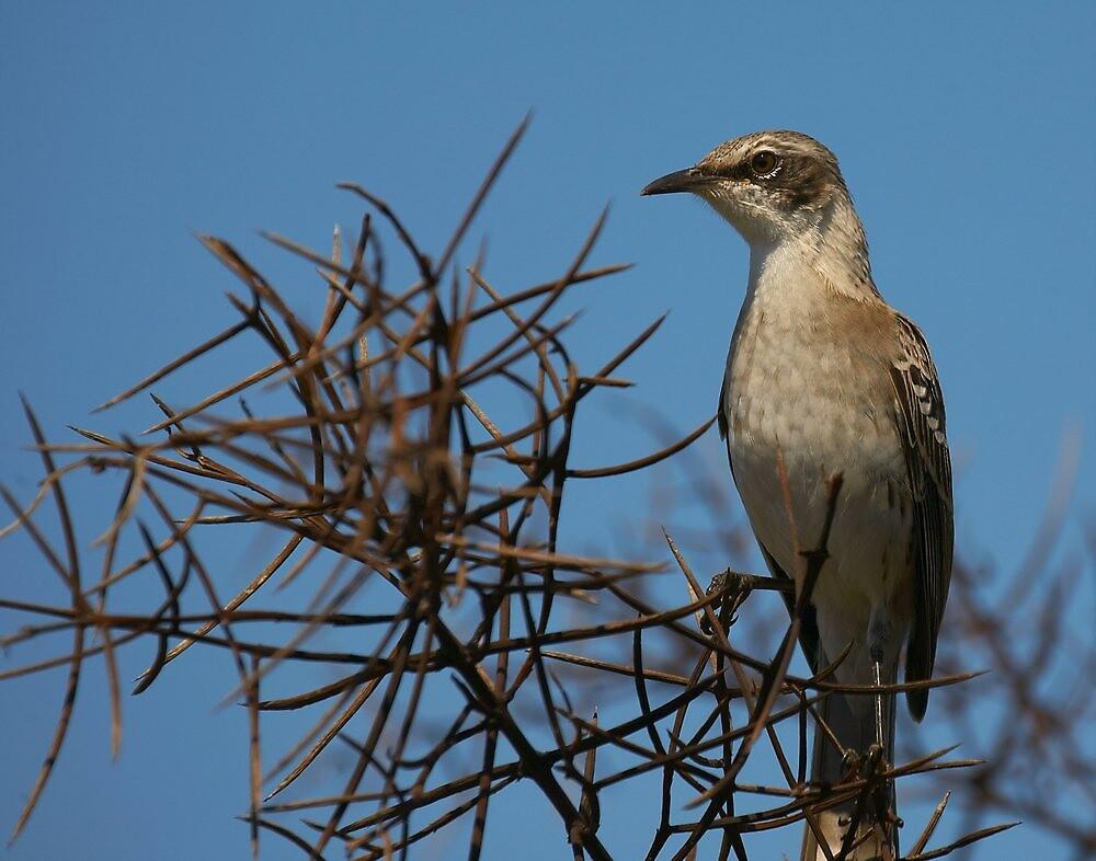Galapagos Mockingbird by citrineblue