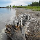 Driftwood On The Beach...Meaford Harbour by Tracy Wazny
