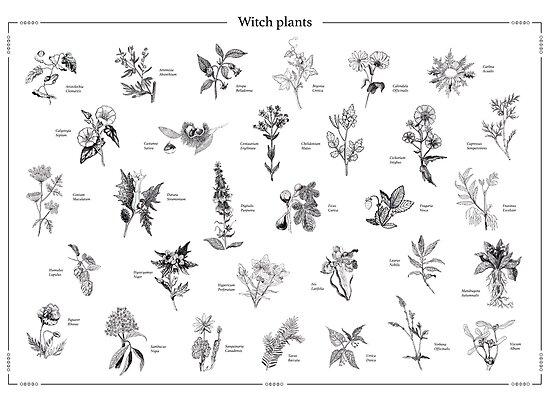 «Witch plants» de barcava