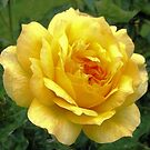 Yellow rose by Esperanza Gallego