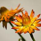 Strawflower Duet by Donna Adamski